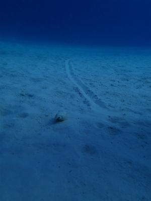 タケガイとその足跡