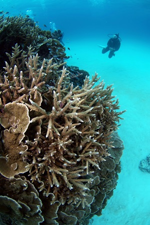 枝サンゴとくろき