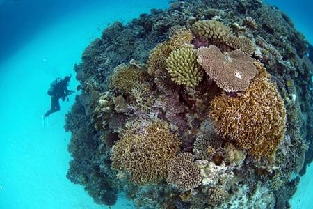 サンゴの根とくろき