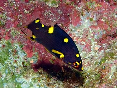 ケサカゲベラ幼魚